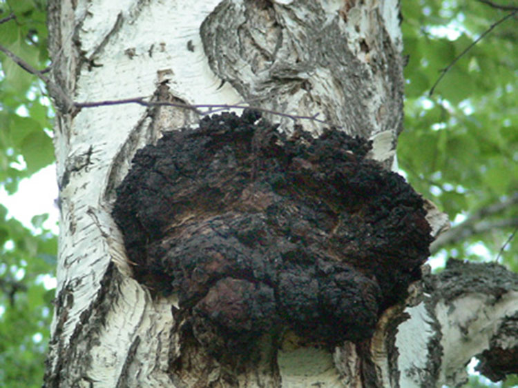 Try These Chaga Mushroom Picking Suggestions