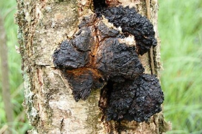 When To Collect Chaga