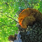 Chaga Mushrooms VS 5 Other Top Superfoods
