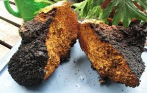 Siberian Chaga Extract with Betulin